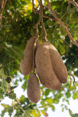 Inedible fruits of evergreen sausage tree, Kigelia africana.