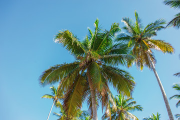 tops of high palm trees in sunlight on sky background