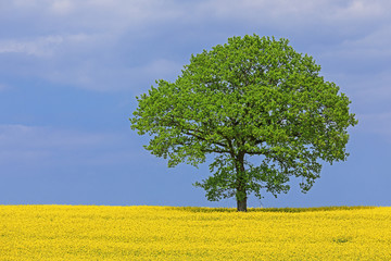 Rapsfeld mit Einzelbaum (Eiche) in Schleswig-Holstein