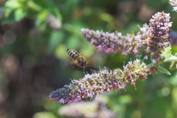 Honey bee collects nectar and pollen from purple flowers Lemon balm, Melissa officinalis, balm, common balm, or balm mint.