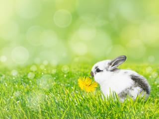 White Easter rabbit eats dandelion flower