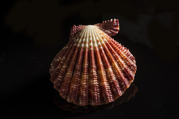A Scallop shell from the South Pacific is captured on black background