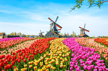 Fototapeta Landscape with tulips, traditional dutch windmills and houses near the canal in Zaanse Schans, Netherlands, Europe