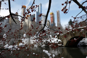 Snow sits on tree limbs at Central Park in Manhattan, New York