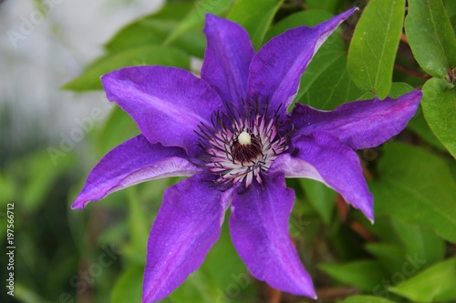 Big purple flowers named clematis or president flower stock photo big purple flowers named clematis or president flower mightylinksfo Images