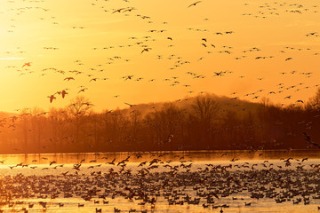 Migrating Snow Geese Flying at Sunrise