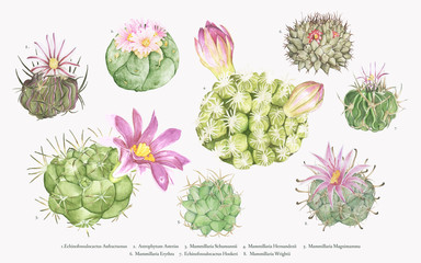 Hand drawn mammillaria cactus collection