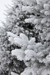 Detail of a fir tree covered with hoarfrost