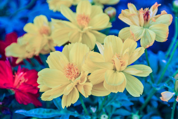Cosmos is also known as Sulfur Cosmos and Yellow Cosmos. It is native to Mexico, Central America.