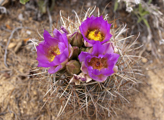 close up of barrel cactus with three blooms in the Bears Ears wilderness in Southern Utah.