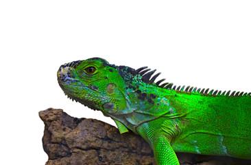 Iguana on a branch