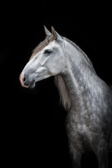 Fototapete - Portrait of beautiful grey andalusian horse isolated on black