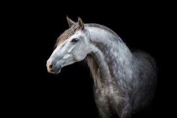 Wall Mural - Portrait of beautiful grey andalusian horse isolated on black