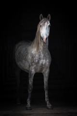 Fototapete - Beautiful grey andalusian horse isolated on black