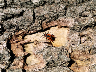 Soldier beetle on the bark in the bright summer sun heats
