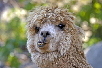 Lama funny hair wild locking animal portrait close up