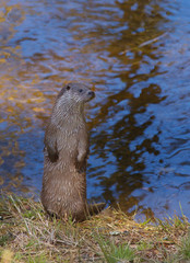Standing otter with water on background