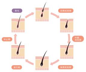 毛髪・ヘアサイクル イラスト