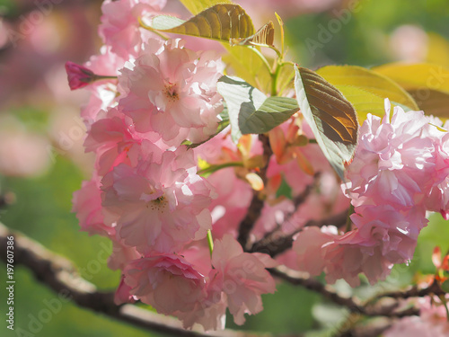 Early spring lush sakura tree bllossom big pink flowers close up early spring lush sakura tree bllossom big pink flowers close up mightylinksfo