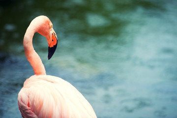 The pink Caribbean flamingo goes on water. Pink flamingo goes on a swamp