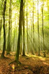Forest of Beech Trees, Sunbeams through Fog