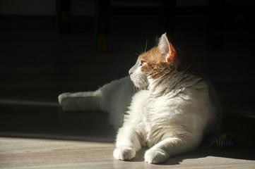 Female cat lying in sunlight shadow on house wooden floor