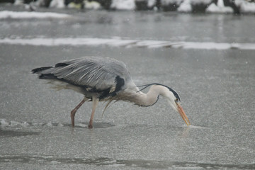 Grey heron in the snow
