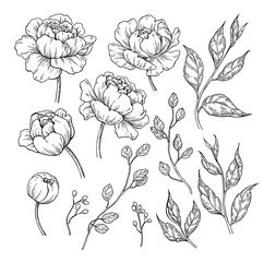 Peony flower and leaves drawing. Vector hand drawn engraved flor