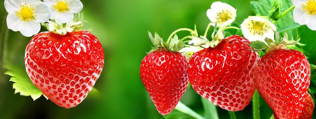 Garden strawberries.sweet summer nature
