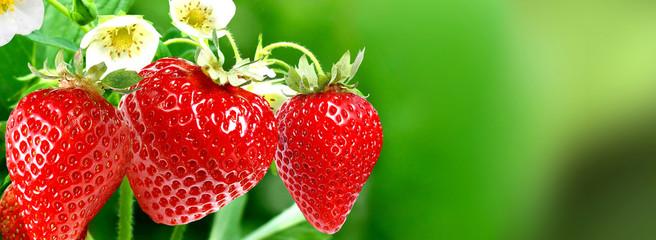 gardening strawberries harvest.sweet nature