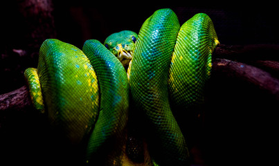 Green snake on the branch forest