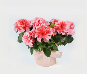 Fully bloomed azalea in a pink fabric flower pot on a white background