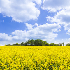Poster Orange Spring countryside of yellow rapeseed fields in bloom