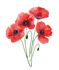 Bouquet of red poppies. Watercolor illustration