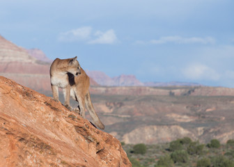 Deurstickers Puma Cougar standing on red sandstone ledge looking over it's shoulder towards the right with southwestern landscape in the background