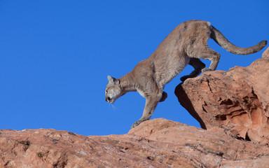 Foto op Aluminium Puma Cougar stalking along a red rock ridge against a blue sky