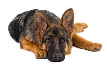 sad shepherd puppy lies