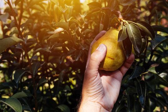 Farmer examining pear fruit grown in organic garden