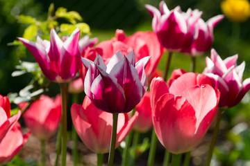 gelbe rote Tulpen im Gegenlicht für Poster Gemälde als Nahaufnahme