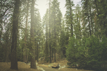 The beautiful vintage green forest like a fairytale at Sequoia National Park