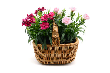 purple pink dianthus flower in basket on white isolated background