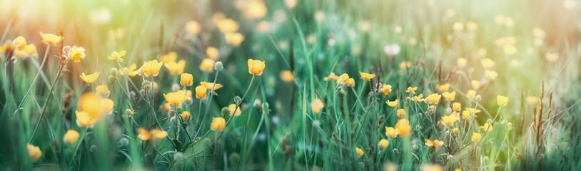 Buttercup flower in grass - beautiful spring flower in meadow