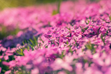 Pink tender phlox. Beautiful summer background. Toned.