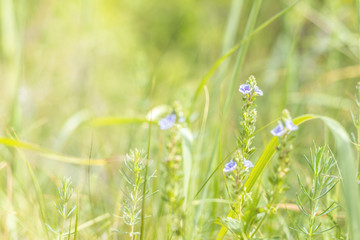 Green juicy grass and gentle violet flowers in the field on a sunny day