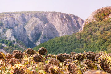 Sunflower field ready for harvest. Mountain side with a ravine, forest-covered hill seen in the background
