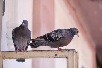 Pigeons sitting on window waiting for food. Birds having a conversation. Urban wildlife