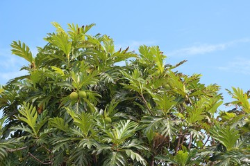 Fruits and leaves of the tropical breadfruit tree against blue sky