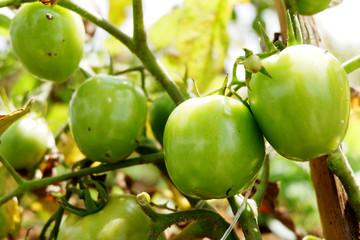 fresh green tomatoes