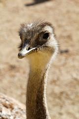 Portrait eines Strauß, Emu, Nandu