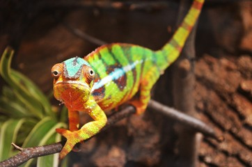 colorful chameleon looks funny